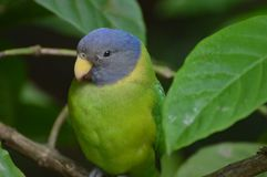 李子带头的长尾小鹦鹉 免版税图库摄影