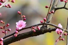 李子开花在冬天 免版税库存图片