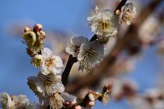 李子开花在日本 库存图片