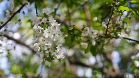 李子开花在春天