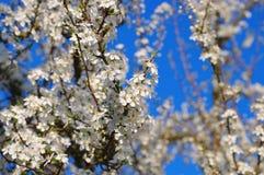 李子开花在春天 库存图片