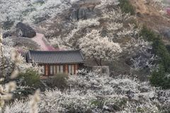 李子开花在韩国乡下 免版税库存图片