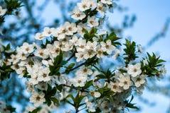 李子开花白色在一个春日本质上,背景被弄脏 免版税库存图片