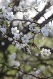 李子开花的春天分支  免版税库存图片