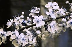 李子开花蓝色和白色 库存照片