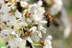 李子特写镜头在背景中开花与一只被弄脏的蜂 免版税图库摄影