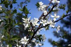 李子的白花在一个春日开花在公园o 免版税图库摄影