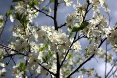 李子的白花在一个春日开花在公园o 免版税库存照片