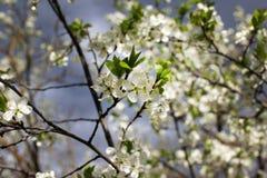 李子的白花在一个春日开花在公园o 库存图片
