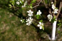 李子的白花在一个春日开花在公园o 免版税库存图片