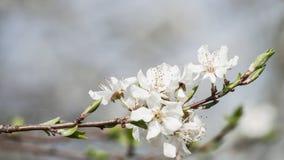 李子美丽的春天特写镜头开花有被弄脏的背景 免版税库存图片