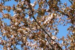 李子花开花 春天…上升了叶子,自然本底 免版税图库摄影