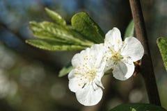 李子花树在庭院里 免版税图库摄影