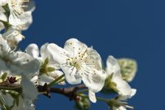 李子花树在庭院里 免版税库存照片