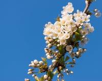 李属树在清楚的蓝天的开花分支 免版税图库摄影