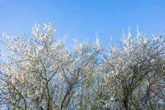 李属Cerasifera树在春天 免版税图库摄影