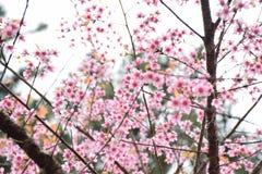 李属cerasoides或野生喜马拉雅樱桃在泰国 免版税库存图片