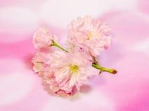 李属serrulata Kanzan,分支桃红色树花开花,日本樱桃,桃红色背景,关闭  免版税库存照片