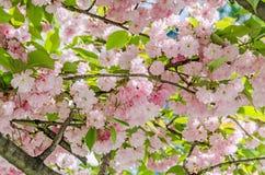 李属serrulata Kanzan,分支桃红色树花开花,日本樱桃,花卉背景,关闭  免版税图库摄影