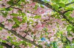 李属serrulata Kanzan,分支桃红色树花开花,日本樱桃,花卉背景,关闭  图库摄影