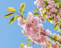 李属serrulata Kanzan,分支桃红色树花开花,日本樱桃,花卉背景,关闭  免版税库存照片