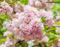 李属serrulata Kanzan,分支桃红色树花开花,日本樱桃,花卉背景,关闭  免版税库存图片