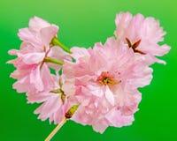 李属serrulata Kanzan,分支桃红色树花开花,日本樱桃,绿色背景,关闭  图库摄影