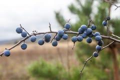 李属spinosa或者黑刺李灌木 免版税库存图片