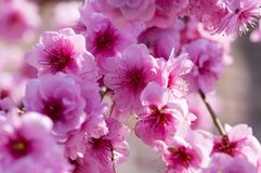 李属triloba装饰桃红色开花的春天树,与充分的双重桃红色花的令人惊讶的美好的分支 免版税库存图片
