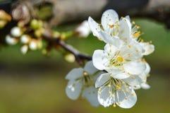 洋李开花在春天 免版税库存照片