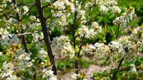 洋李开花在春天(4K) 影视素材