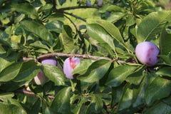 洋李用水多的果子 免版税图库摄影