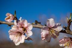 杏仁分行开花结构树 库存图片