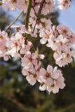 杏仁开花在春天在保加利亚 库存照片