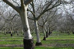 杏仁开花无比李属结构树的胸罩dulcis 库存图片