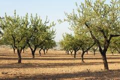 杏仁种植园结构树 免版税库存照片