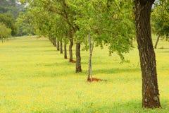 杏仁种植园结构树 库存图片