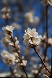 杏仁backround开花唯一软的结构树 库存照片
