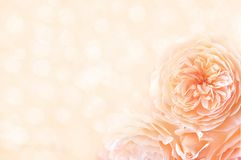 杏子上升了在发光的背景的花 免版税库存照片