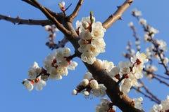 杏子与蓝天的开花花在Pari玛哈尔,斯利那加 库存照片