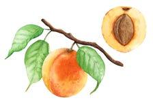 杏子分支绘与水彩 免版税库存照片