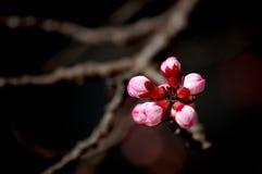 杏子发芽花 免版税库存照片