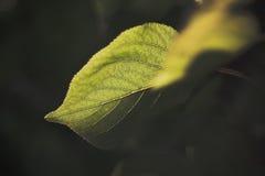 杏子叶子 免版税库存图片