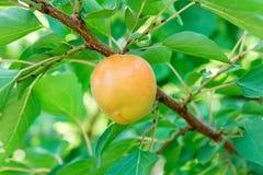 杏子庭院 夏天庭院果子 在树的成熟杏子 杏子收获黄色杏子在庭院里在一个晴天 Branc 库存图片