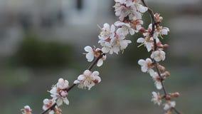 杏子开花分支在庭院里,黄昏 股票录像