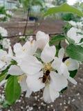 杏子开花和蜂 免版税库存图片