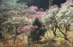 杏子开花日本粉红色白色 免版税图库摄影