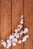 杏子开花的分支在背景的木 免版税库存图片