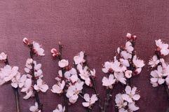 杏子开花的分支在织品的 库存照片