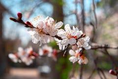 杏子开花 用花报道的杏树分支,季节性花卉自然背景,浅景深 库存照片